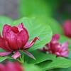 'Heartlage Wine'  (CALYCANTHUS RAULSTONII) Sweetshrub Calycanthaceae<br /> Colonial Park, Somerset, NJ