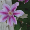 Sugar Candy Clematis<br /> Colonail Park, Somerset, NJ
