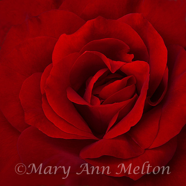 The Red Rose