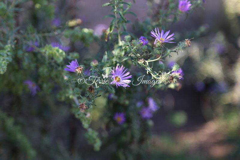 Aster_IMG_2418_09282014