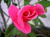 Gertrude's Rose