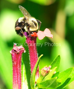 Carpenter Bee MCB003 A bee is busy spreading the pollen around