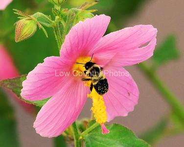 Carpenter Bee MCB002
