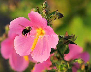Carpenter Bee MCB001