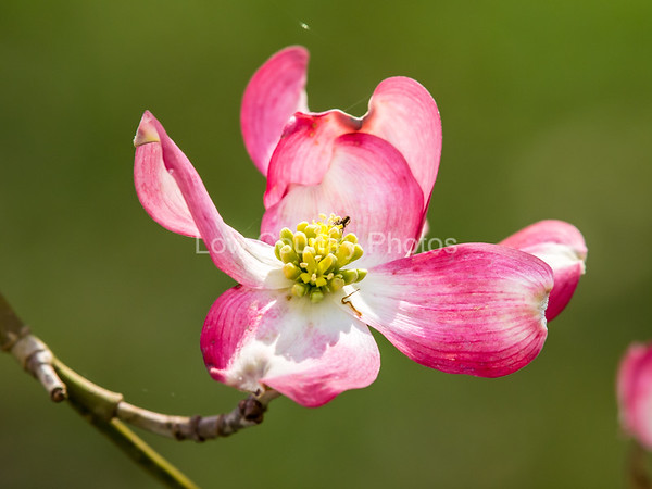Dogwood in Bloom - Rockingham, NC