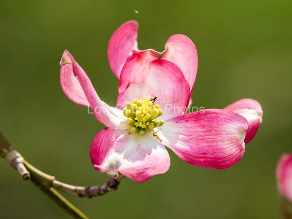 Dogwood in Bloom - Rockingham, NC