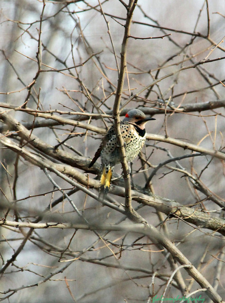 Common Flicker Wood Pecker