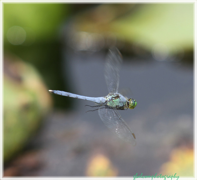 Dragonfly 6