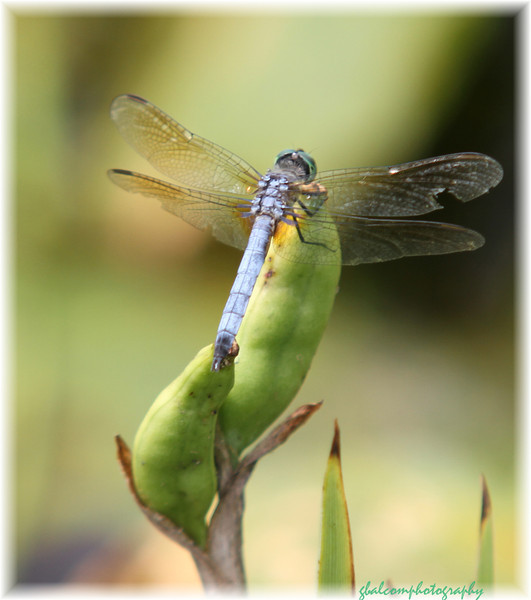 Dragonfly 7a