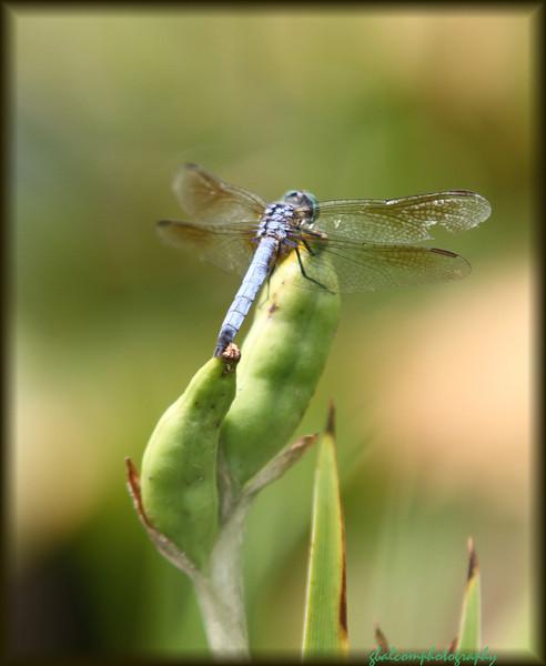 Dragonfly 9
