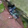 Cicada getting darker