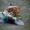 Cicada emerging from shell