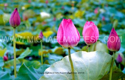 Lotus Blooms in Waiting. Taken at a Lotus Farm in Southern Taiwan. I love the blue-green colors of the lily pads contrasted with the pink of the bloom. Photographed with a Nikon N90s FILM Camera. and 28-105mm AF lens.
