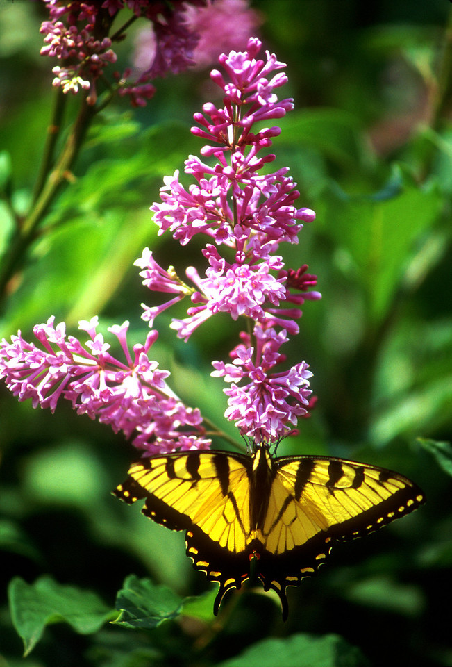 """Lilacs and Monarch"""