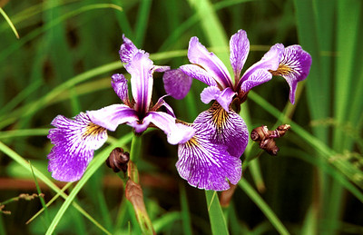 """Wild Irises""  Photographed in the Boundary Waters Conoe Area Wilderness, Northern Minnesota."