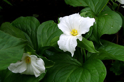 """Giant Trillium""  Photographed in the Boundary Waters Conoe Area Wilderness, Northern Minnesota."