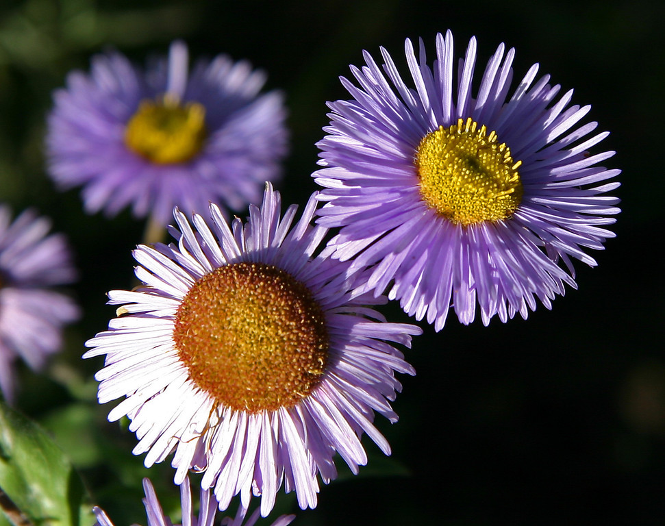 Mountain asters at dawn