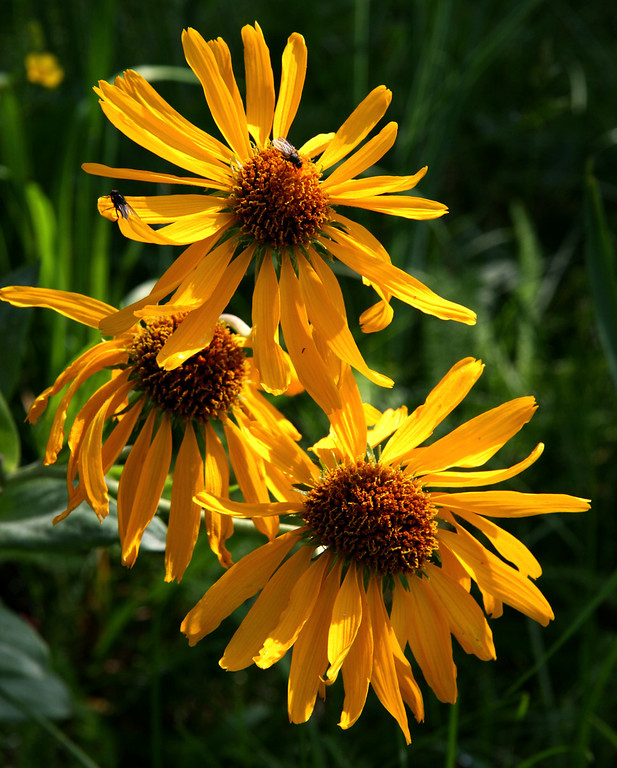 Mountain sunflower in the Pecos Wilderness