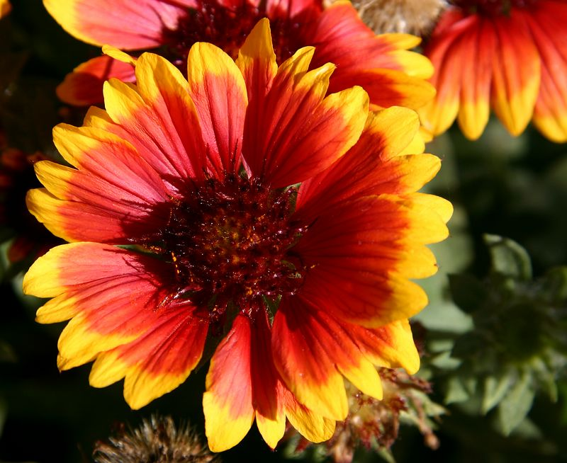 Blanket flower in Garden