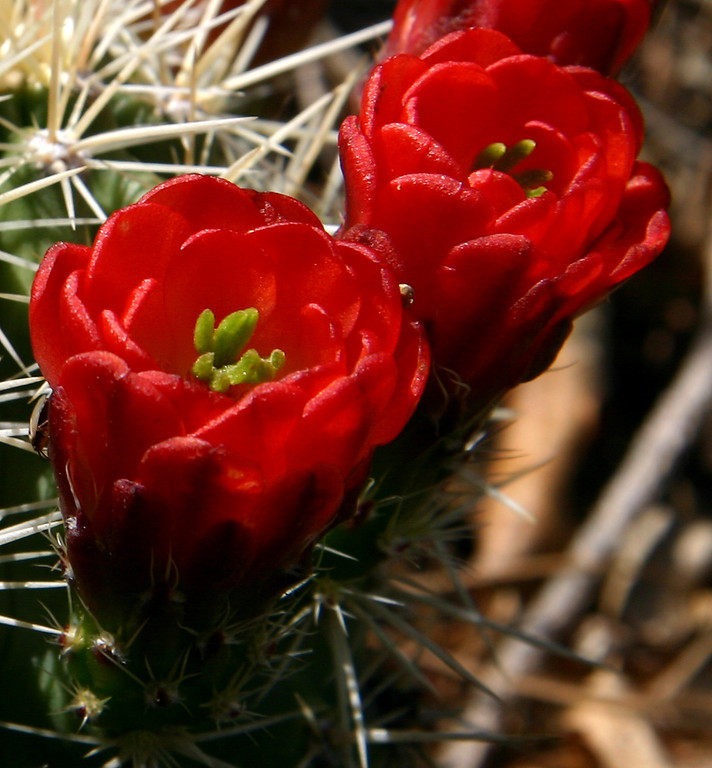 Claret Cup cactus flowers in the Manzano Mountains