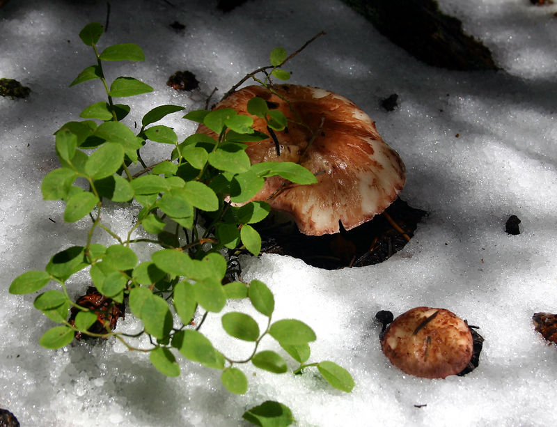 Mushrooms caught in August snow storm in the Pecos Wilderness