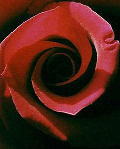 Red Rose CU