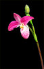 Phragmipedium- Orchid-cropped_g Hanne Popon_4465