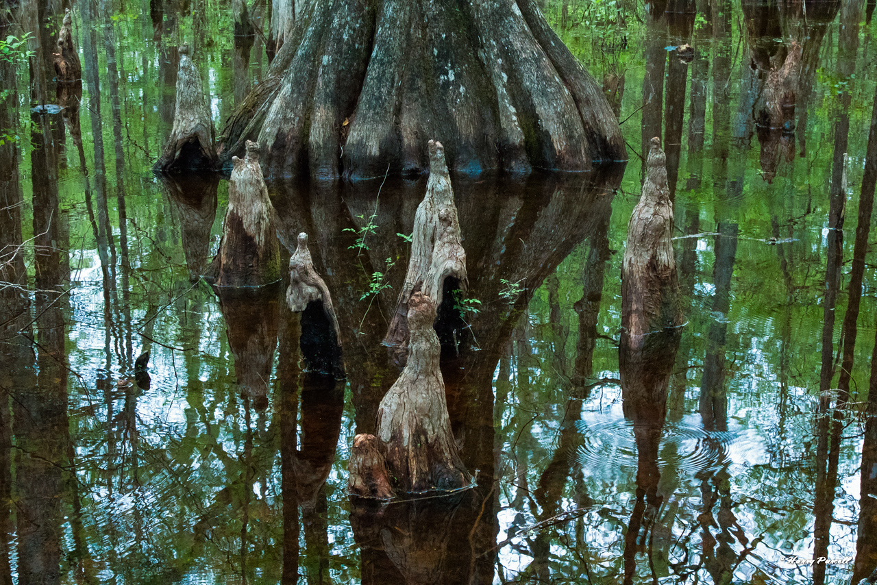 Cypress knees, Walula Springs Park, Crawfordville, Fl