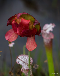 flower of the Pitcher Plant
