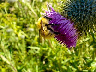 Bumble bea on a Thistle plant