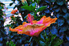 Longwood Gardens - hibiscus