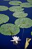Lily pads - Longwood Gardens.