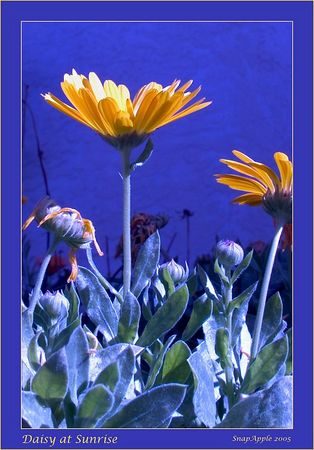Daisy In Blue - vertical orientation
