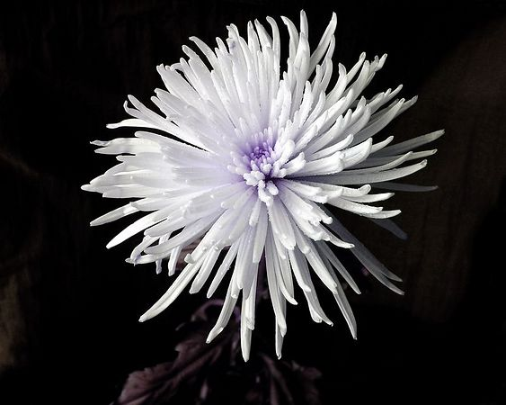 White Chrysanthemum with Purple Center