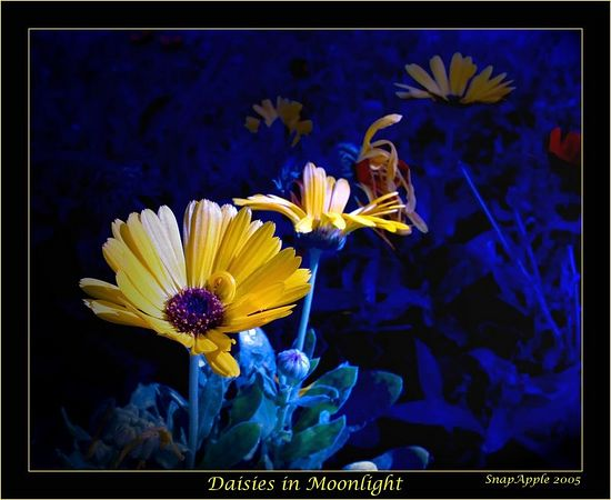 Daisy In Moonlight - This is actually a Calendula, a winter annual that comes in bright yellow and orange. Night shooting of flowers is a challenge