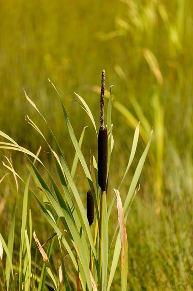 Tabúa [Typha dominguensis] <br /> Baixo Vouga Lagunar - 30-05-2008