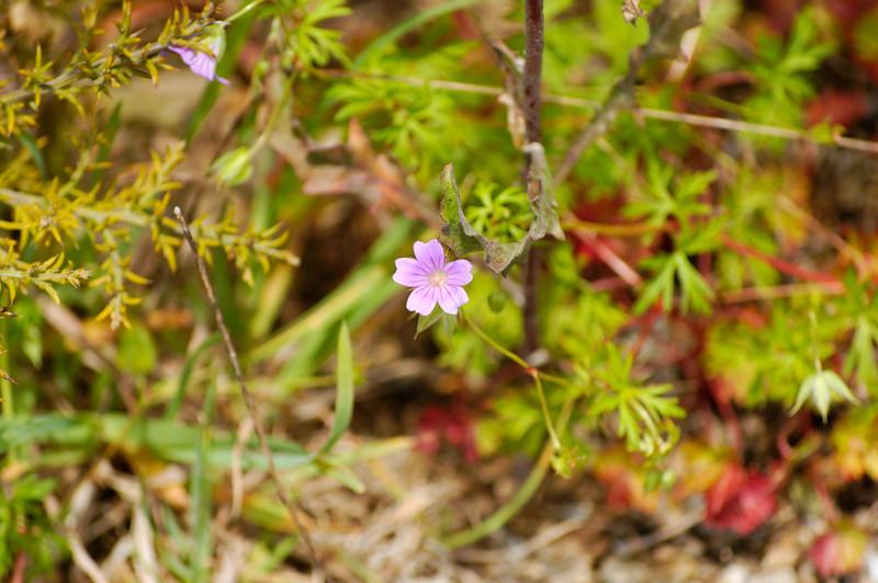 Erva de são roberto [Geranium robertianum] <br /> Baixo Vouga Lagunar - 30-05-2008
