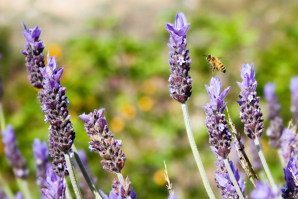 March 28 - Bee in the Lavender