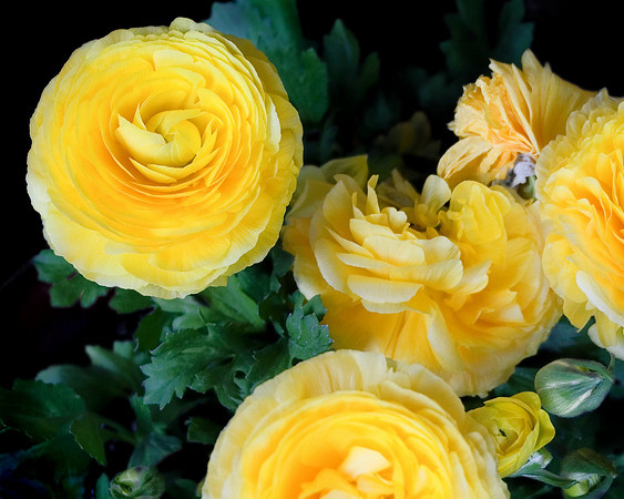 "Ranunculus - a tuberous-rooted plant with peony like blooms. I bought several plants at the nursery in yellow, red and purple. They remind me of tissue paper flowers. The bright yellow says ""Spring"" to me."
