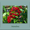 "Nandina Triptych with the leaf, berry and blossom of the Nandina or ""Heavenly Bamboo"""