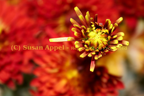 Popping Out - This chrysanthemum seems to pop out of the picture.