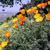 Poppies -California Wild Flowers
