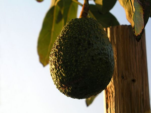 Avocado - The late afternoon sun makes this Haas avocado look picture perfect.
