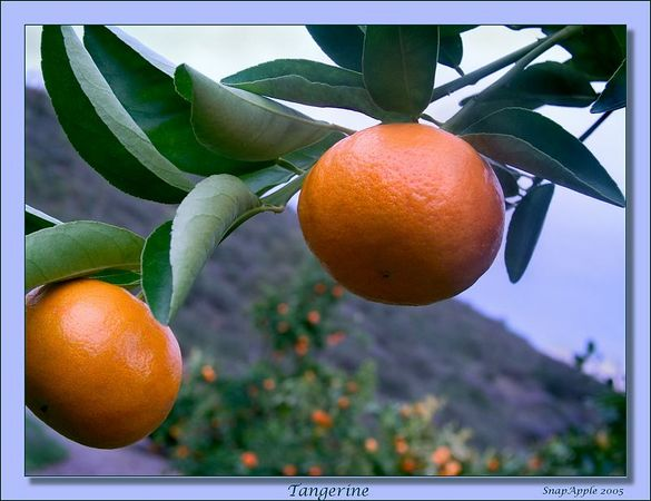 Tangerines in the Grove