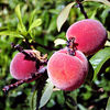 Peaches - So bright on the tree. It will only take four cups to make a batch of jam. I can hardly wait to get started.