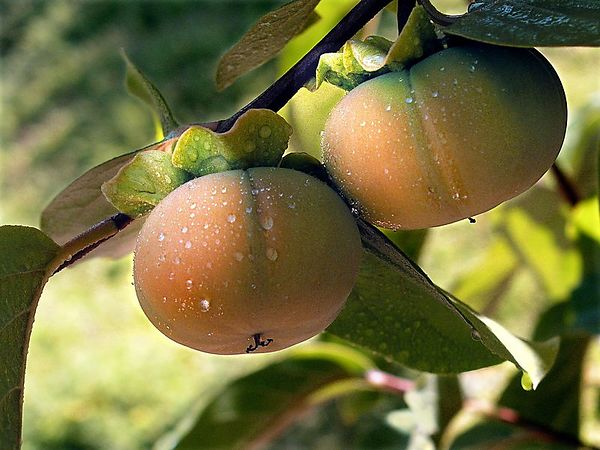 Persimmons - They are just starting to ripen. I will cover the tree with a net before the birds find them.
