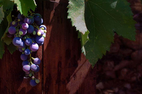 Grapes in the Vinyard 4 - Availabel in wide rectangle sizes or crop it to the more square 8x10 version in the shopping cart. The deep colors of this photograph would blend well with the decor in your home or office.