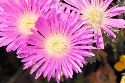 Flower: Chorão-das-areais [Carpobrotus edulis]