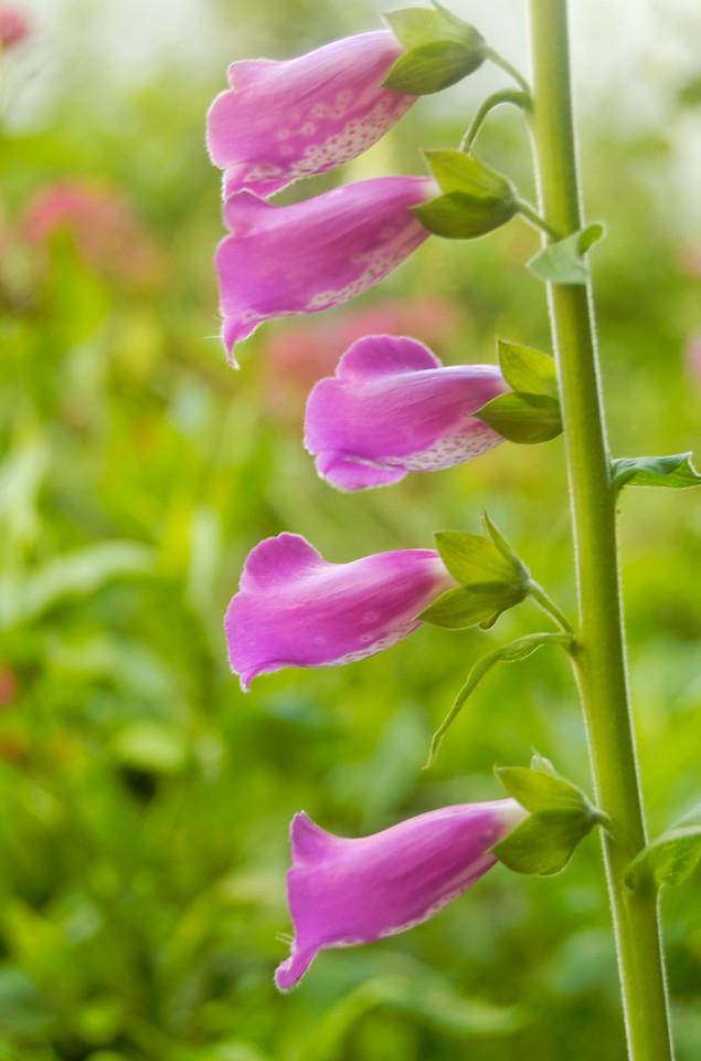 """Dedaleira [Digitalis purpurea]<br /> A dedaleira (do alemão """"Roter Fingerhut"""" (dedal vermelho) para as flores desta planta), também chamada de """"campaínhas"""" pela forma das suas flores, é uma erva lenhosa ou semilenhosa (Digitalis purpurea L.; Scrophulariaceae), venenosa, nativa da Europa. Pode ser cultivada como medicinal, por encerrar digitalina, e também como ornamental, pois possui inúmeras variedades hortícolas de flores róseas ou brancas.<br /> Esta planta fornece um importantes medicamento cardíaco chamado digitalina, prescrito em alguns casos de arritmia ou insuficiência cardíaca."""