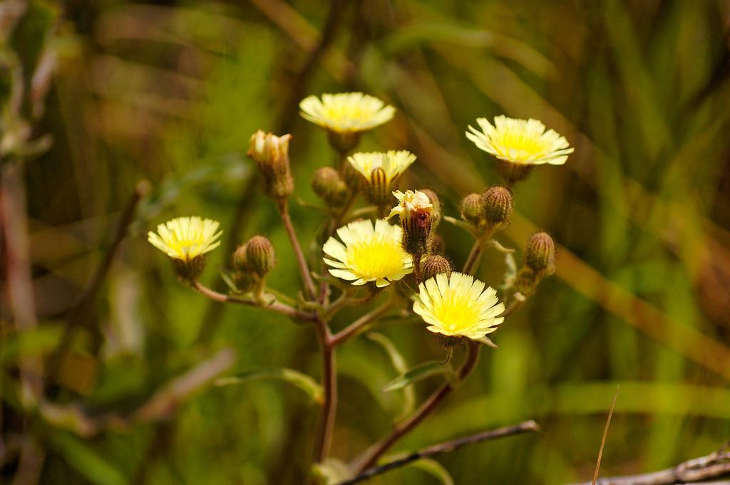 flor amarilla<br /> Baixo Vouga Lagunar - 30-05-2008